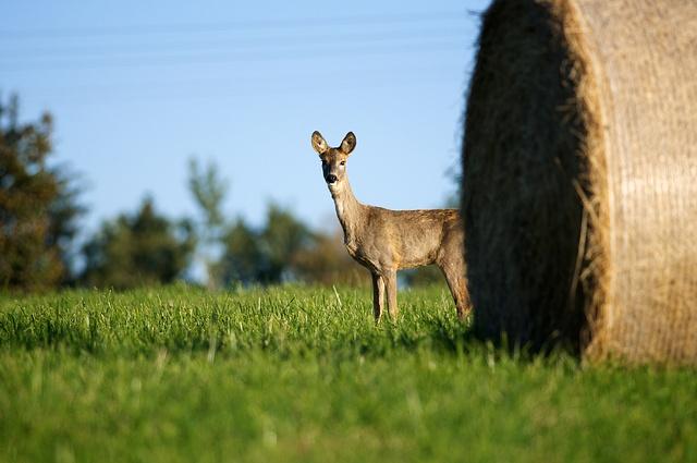 Srnec obecný / European Roe Deer / Capreolus capreolus
