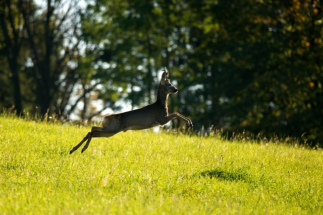 Srnec obecný / European Roe Deer / Capreolus capreolus Nikon D90, ohnisko 300mm (ekv. 450mm), ISO 320, f/4, čas 1/1600s, bez blesku © Hanka Krausová