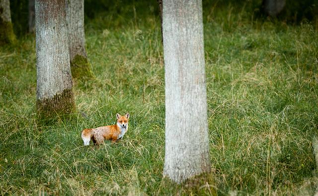 Liška obecná / Red Fox / Vulpes vulpes Nikon D90, ohnisko 300mm (ekv. 450mm), ISO 400, f/4,5, čas 1/60s, korekce -2/3EV, bez blesku © Michal Krause