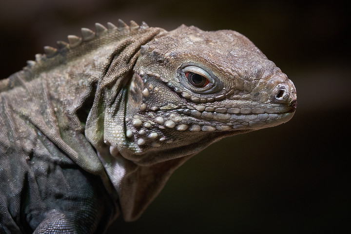 Cuban Ground Iguana (Cyclura nubila)