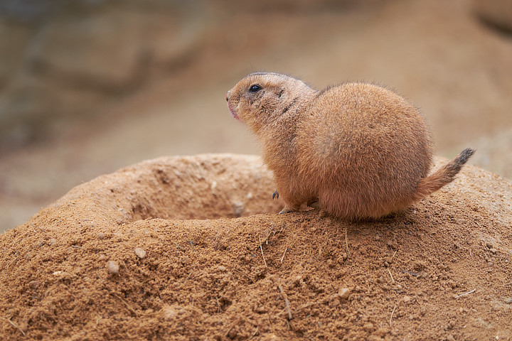 Psoun prériový (Black-tailed Prairie Dog/Cynomys ludovicianus)