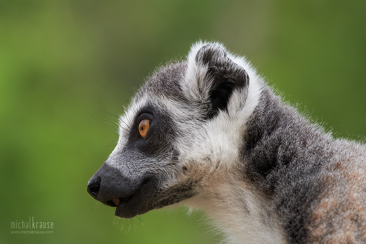Ring-tailed Lemur (X-Pro2, XF50-140mm + XF2X, focal length 280 mm, f/6.4, 1/320 s, ISO 400)