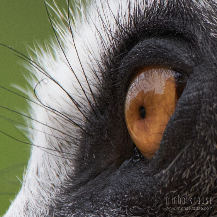 Lemur kata, 1:1 crop (X-Pro2, XF50-140mm + XF2X, focal length 280 mm, f/6.4, 1/320 s, ISO 400)