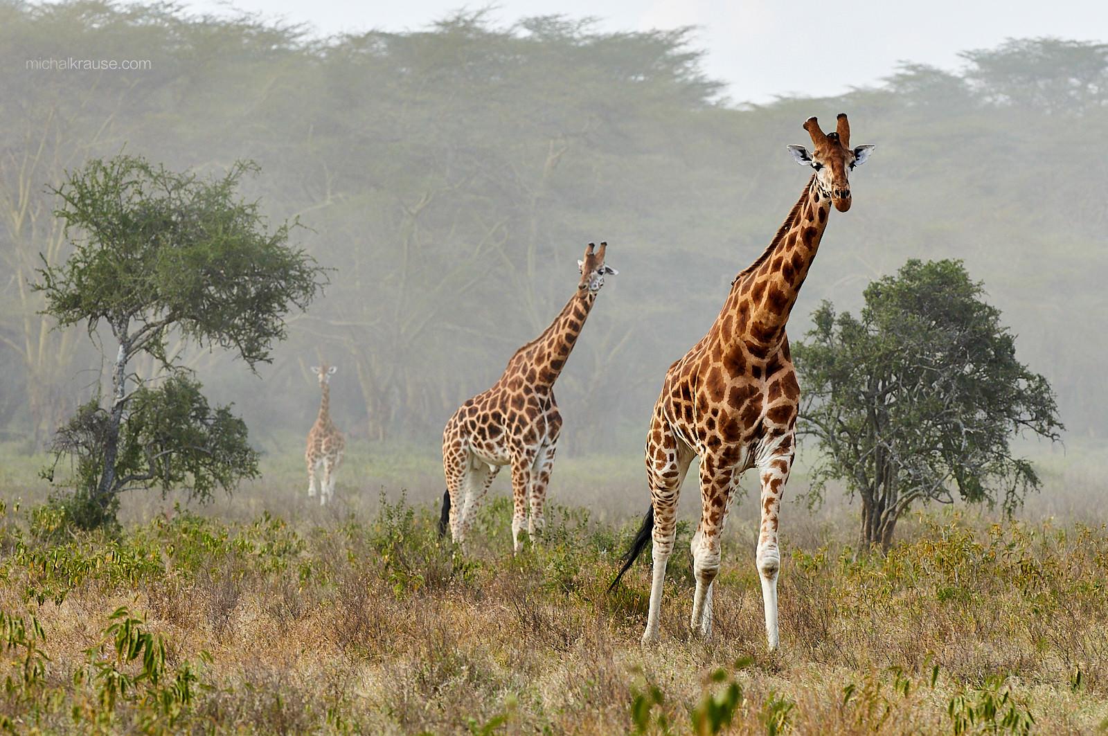 Žirafy núbijské – jedna ze starších fotografií, kterou jsem se na výstavě Czech Nature Photo přispěl do sekce Afrika