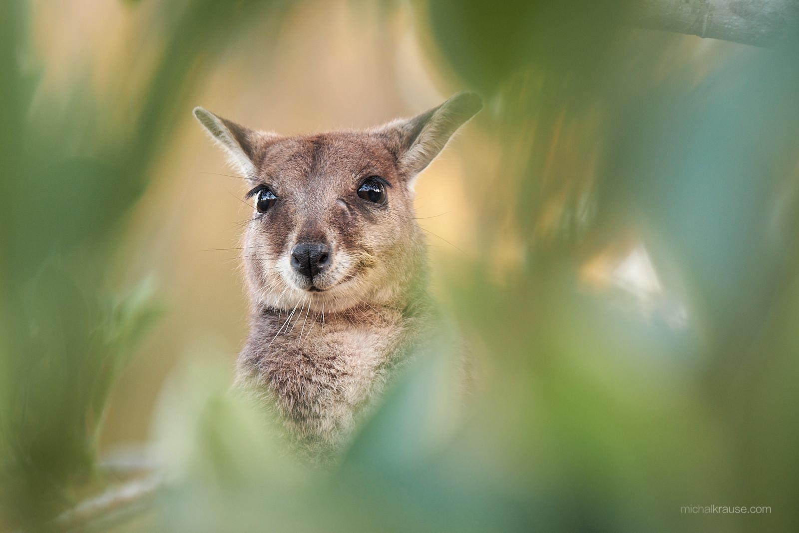 Klokan nenápadný, Queensland, Austrálie