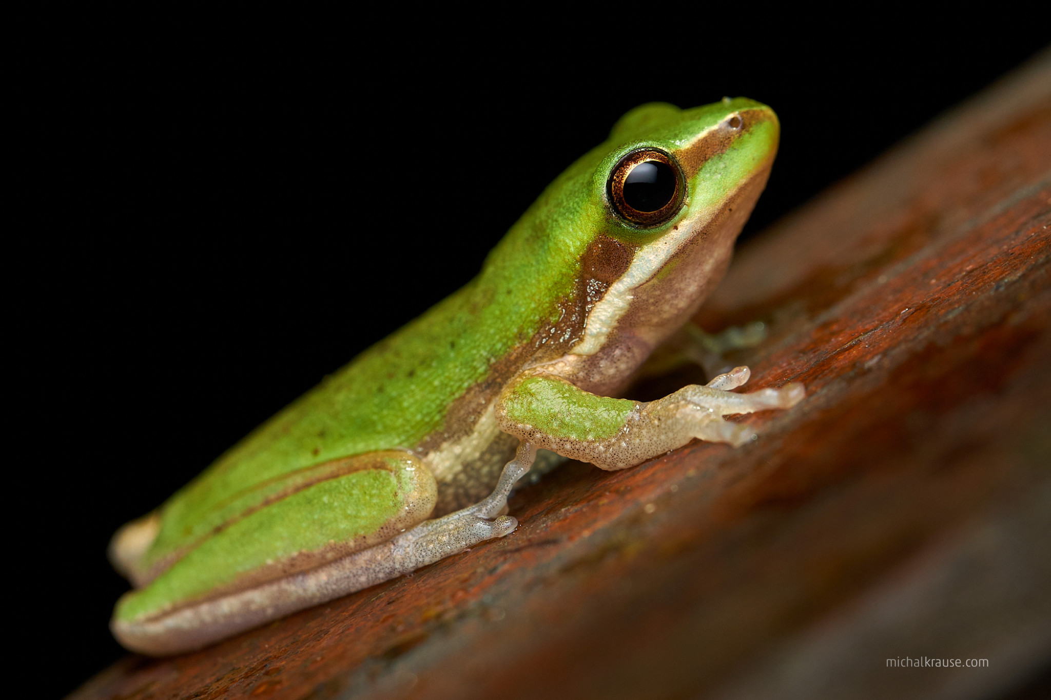 Northern Dwarf Tree Frog (Litoria bicolor)