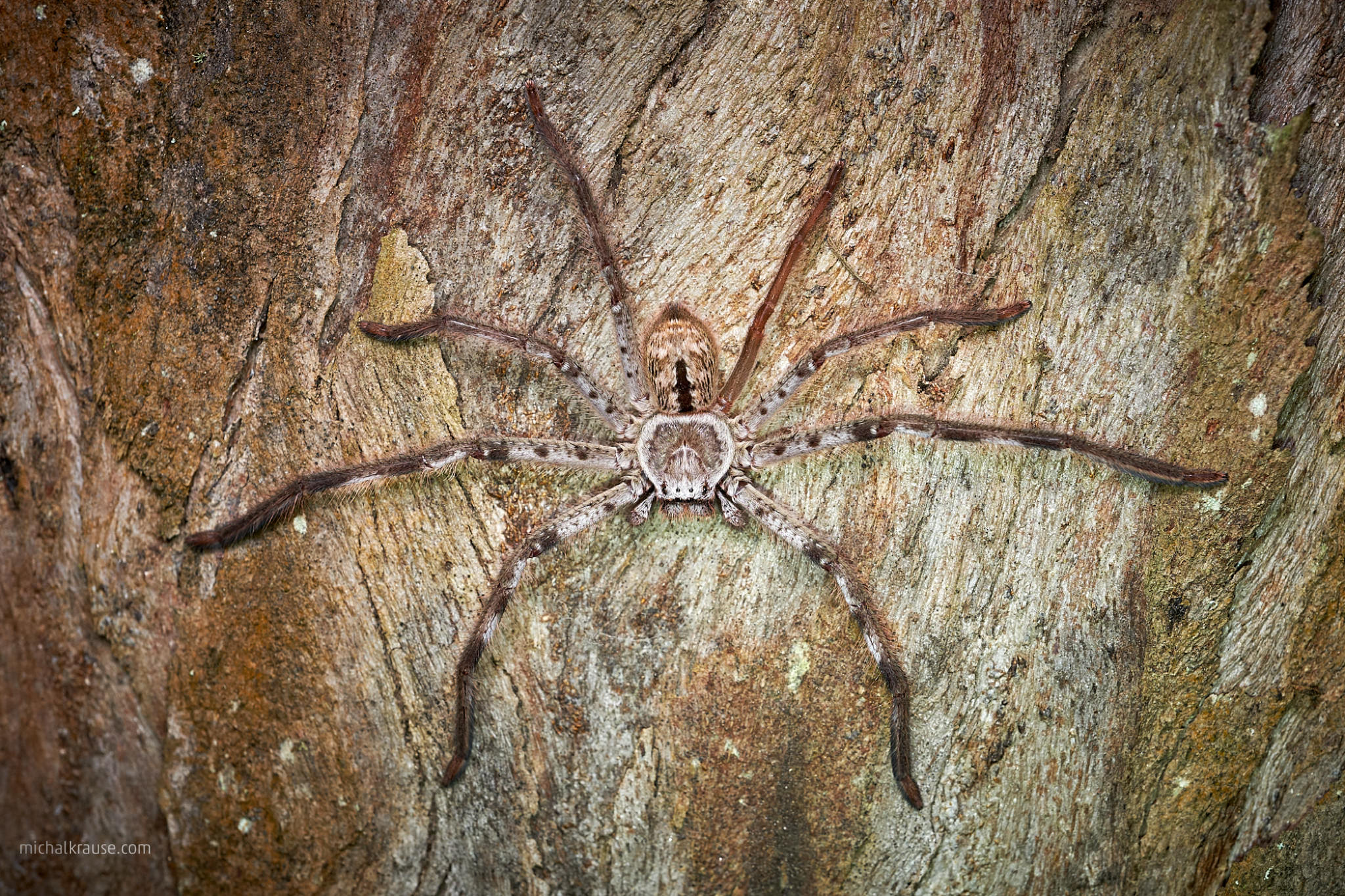 Grey Huntsman