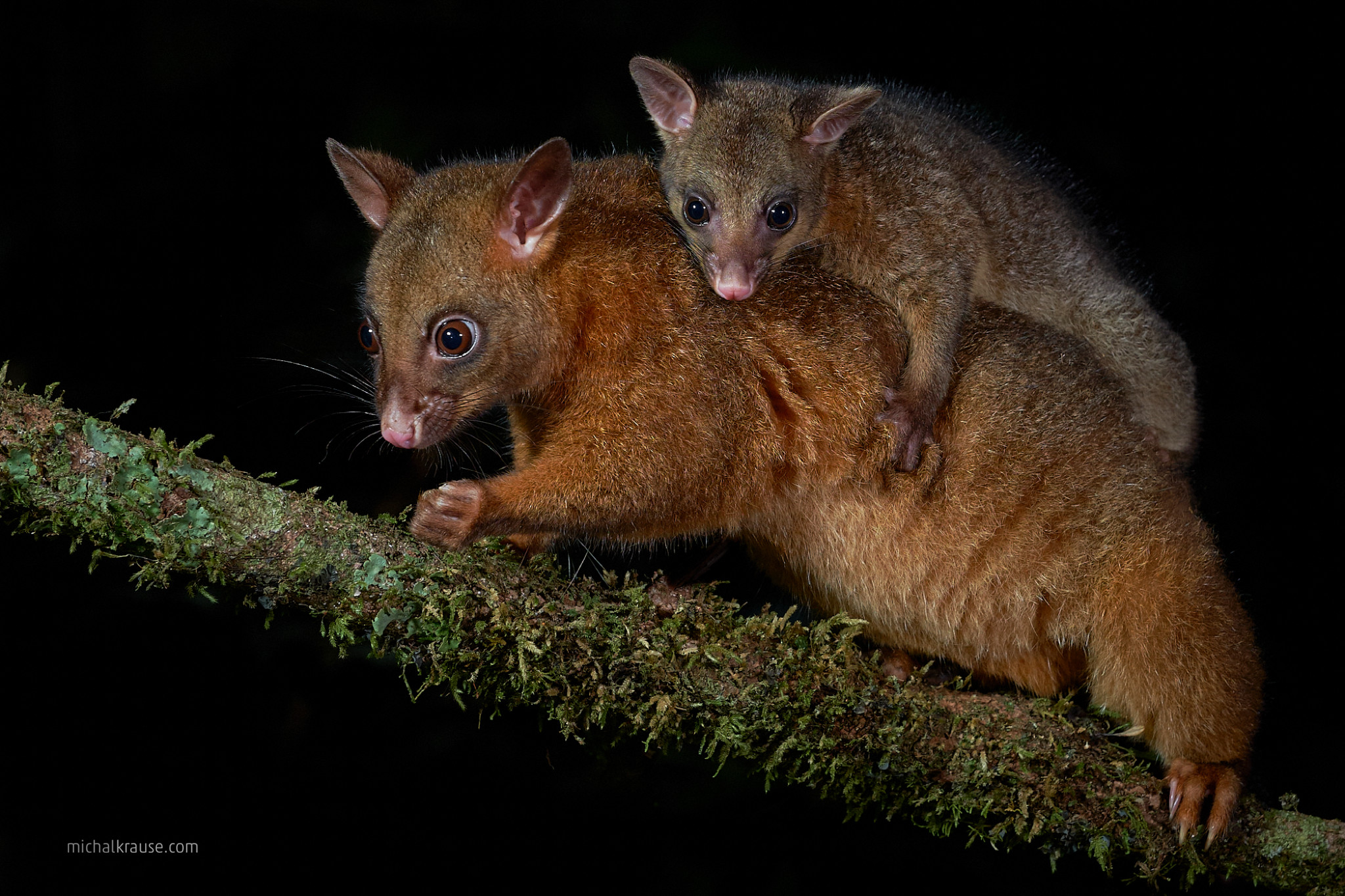 Common Brush-tailed Possum, female with young